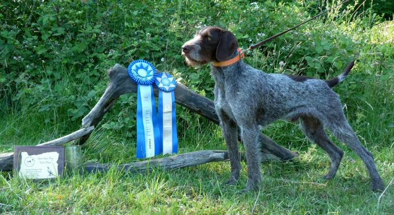 German Wirehair Dogs Stud - WIRE Center •